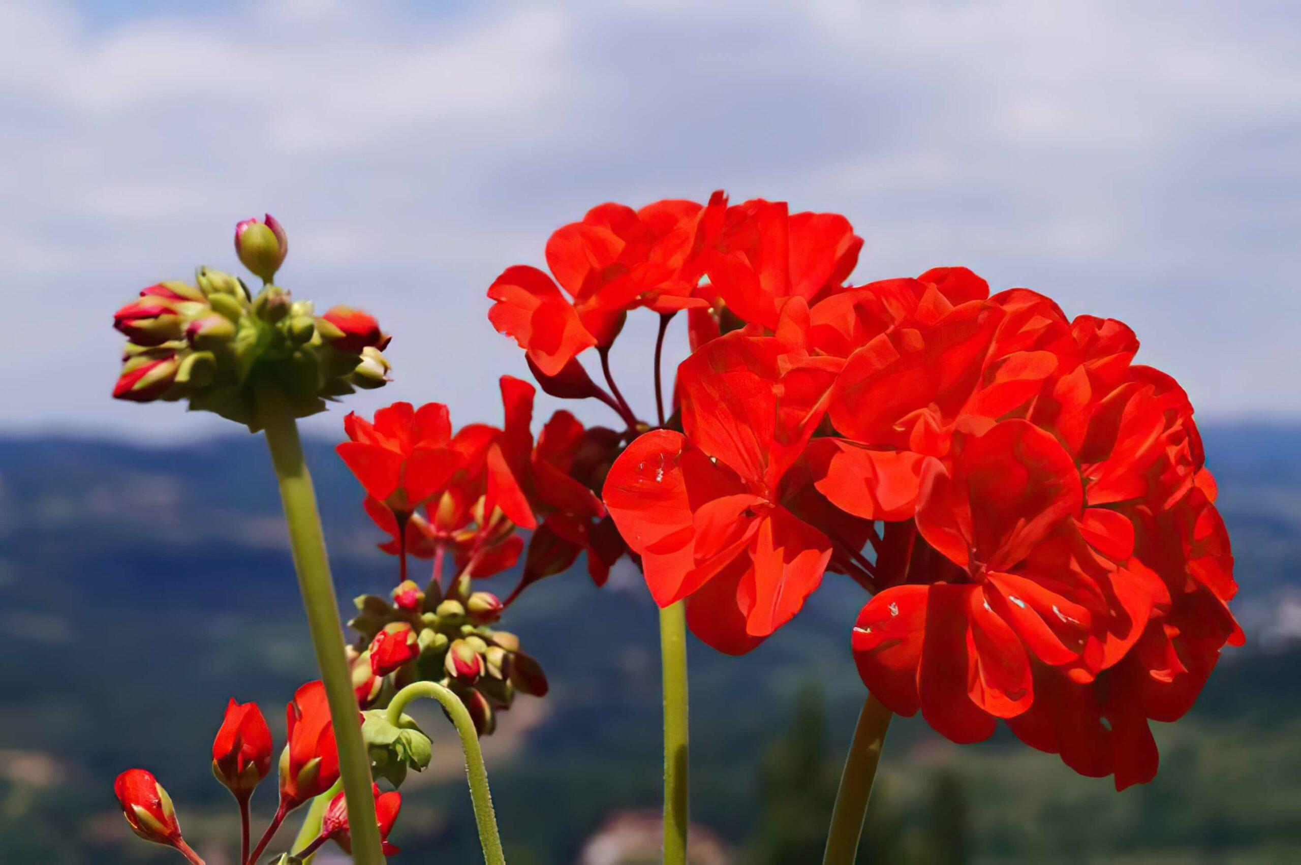 Pelargonien überwintern - Leeb Balkone